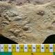 Image of fossil algal mats on rock matrix